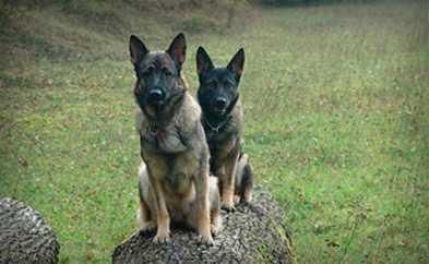 German shepherds sitting on log
