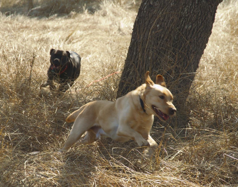 Running dogs play