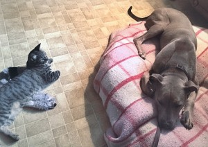 Ramsey is doing so well with the distraction of a cat during his down stay training!